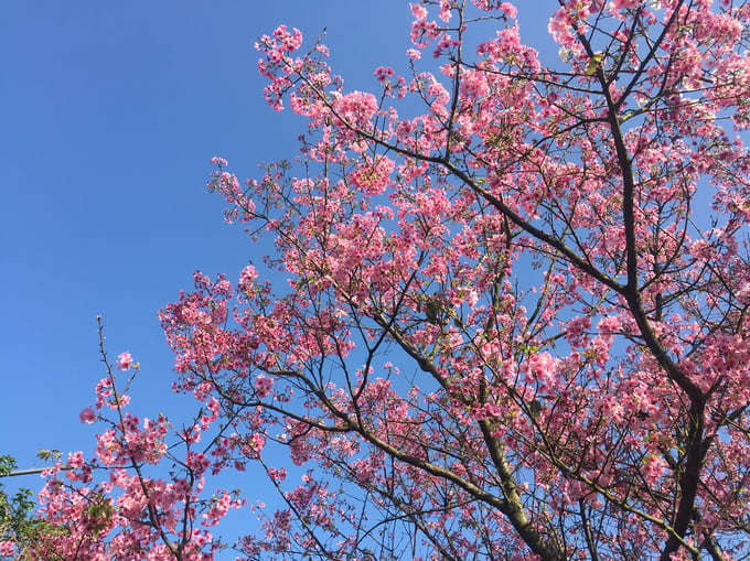 dương minh sơn là một địa điểm ngắm hoa anh đào ở đài bắc