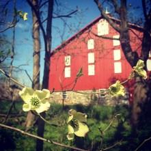 Dogwood and Barn