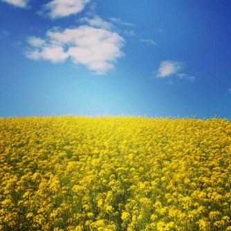 Field of Mustard April 2013