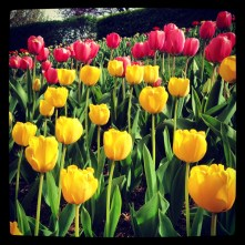 Tulips in Woodley Park