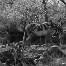 Zoo zebra bw April 2013