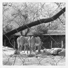 Zoo Zebras bw April 2013