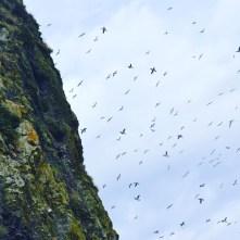 Birds swarm Haystack Rock