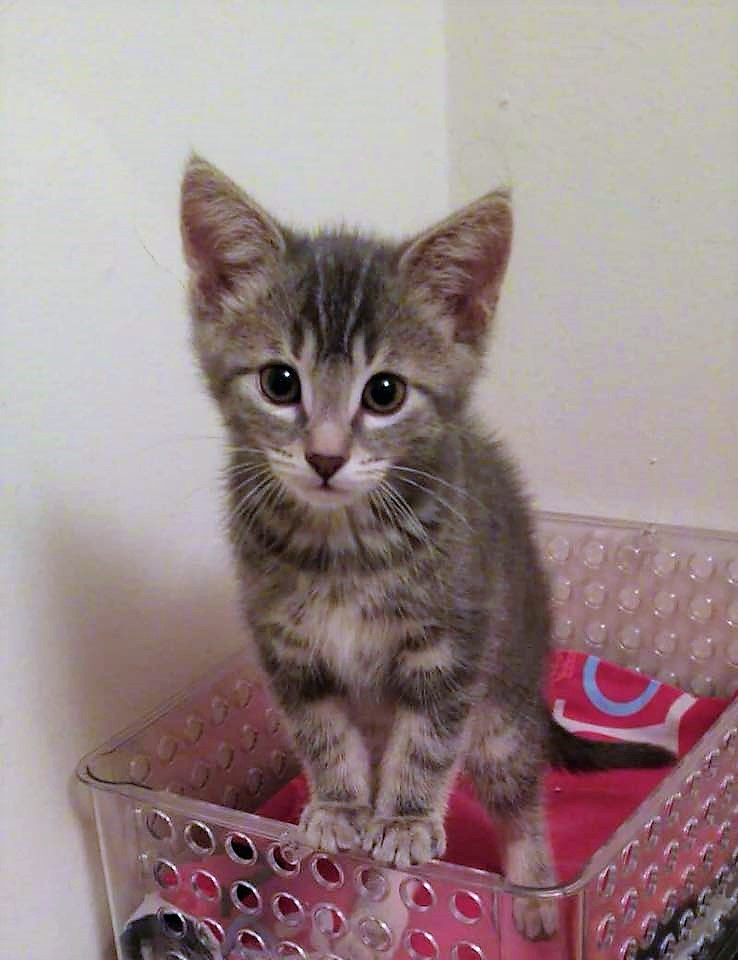 Domestic Short Hair Grey Tabby Male Date of birth: May 2018 Helly is only 12 weeks old but he is fully litter trained. He is playful but when he's had his fill of fun, he's the first to find your lap for a snuggle and nap. Helly has spent some time with old, more submissive cats. If you would like to meet Helly, please send an e-mail to rescue_siamesewpg@hotmail.com to arrange a meeting with his foster family.