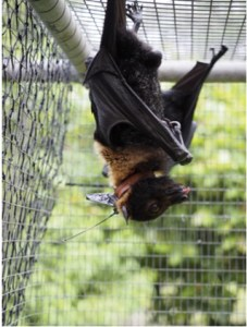 Dozens of Camazotz devices have been placed on flying fox collars throughout Australia.