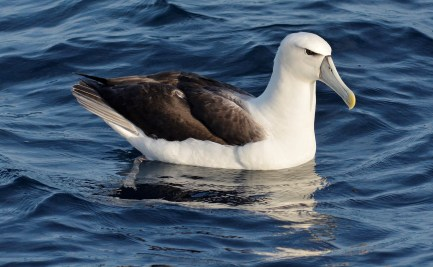 a Shy Albatross sitting on the water
