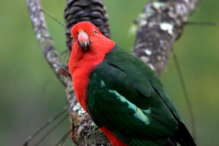A parrot with red head and shoulders and green body sitting on a tree branch