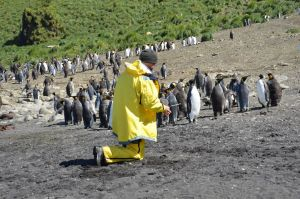A kneeling man wearing yellow rain gear with a mob of penguins nearby.