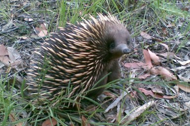 An echidna looking back and up at the camera