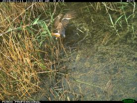 A swamp harrier (Circus approximans) chases a straw-necked ibis chick into the water (image 5). Image credit: CSIRO