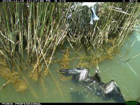 An Australasian darter (Anhinga novaehollandiae) gets too close to a nearby royal spoonbill nest. Image credit: CSIRO