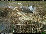 A juvenile white-bellied sea eagle (Haliaeetus leucogaster) feeds on Australian white ibis eggs. Image credit: CSIRO