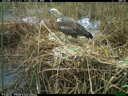 A juvenile white-bellied sea eagle (Haliaeetus leucogaster) feeds on Australian white ibis eggs. Image credit: CSIRO