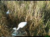 A royal spoonbill presents some eucalypt leaves to its partner, possibly as fresh nest material. Image credit: CSIRO