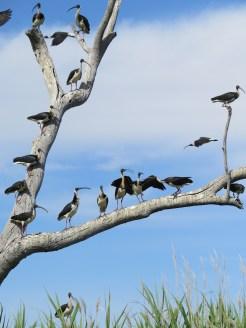 Straw-necked ibis. Image credit: Freya Robinson