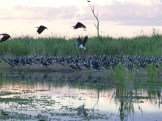 Straw-necked ibis nests on a sand bank. Image credit: Heather McGinness