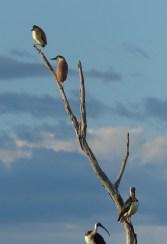 Nankeen-night herons. Image credit: Heather McGinness