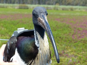 A straw-necked ibis with satellite tracker attached. Image credit: Heather McGinness