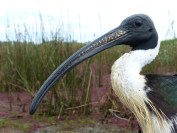 A straw-necked ibis with namesake 'straw' plumage on neck. Image credit: Heather McGinness