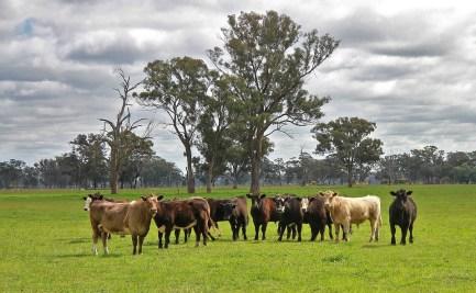 Beef cattle in a paddock
