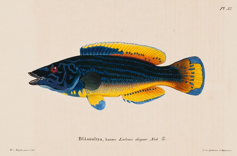 Wilhelm von Wright, Cuckoo-Wrasse, Male, in Skandinaviens Fiskar, 1836–57, lithograph, hand coloured, 24.5 x 29.5 cm Finnish National Gallery / Ateneum Art Museum Photo: Finnish National Gallery / Ainur Nasretdin