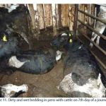 Figure 11. Dirty and wet bedding in pens with cattle on 7th day of a journey