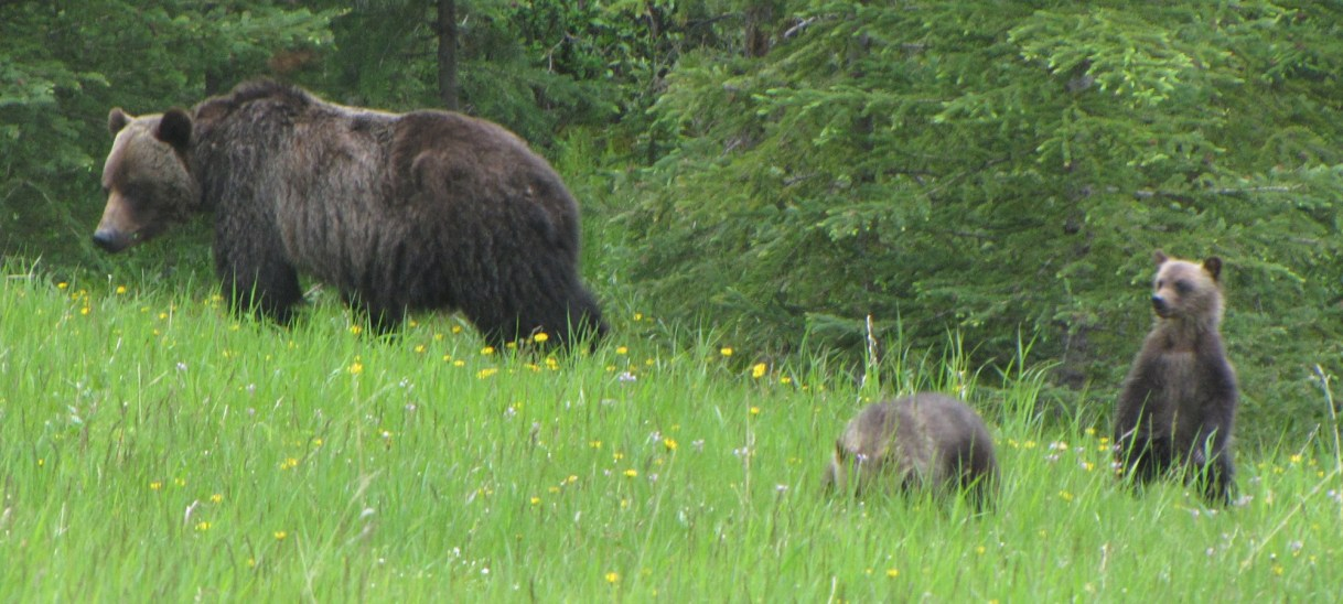 Four-in-Five British Columbians Welcome Grizzly Bear Hunting Ban