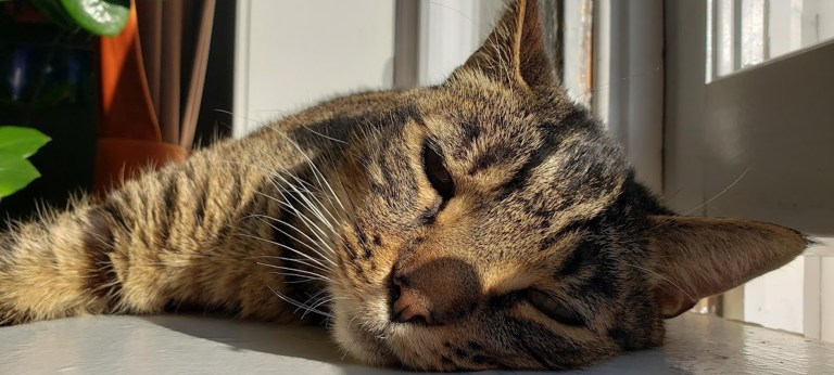 COVID-19 Pandemic Increases Ranks of Cat Owners in Canada