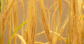 cyanobacteria barley