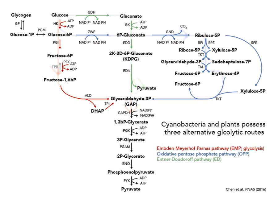 Entner-Doudoroff pathway