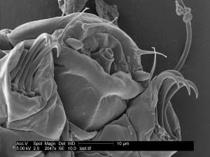 mouth front claws tardigrade
