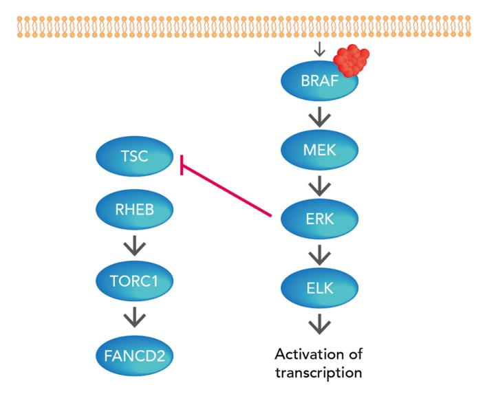 Signalling in BRAF-driven malignant cells