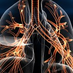 The primary function of the human respiratory system is to breathe in oxygen and excrete carbon dioxide.