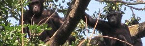 Dr Cleve Hicks proposes a very specific set of customs and traditions for Bili-Uéré chimpanzees.