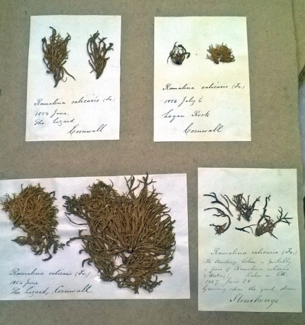 Ramalina calicaris – more commonly found in coastal areas clinging to nutrient rich bark