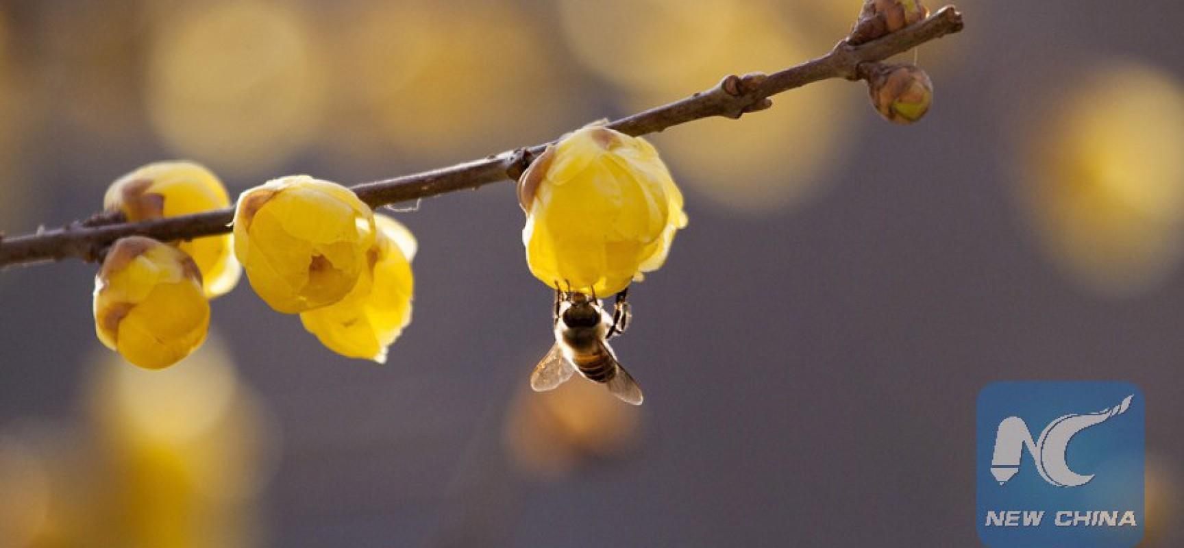 Un médecin palestinien utilise des piqûres d'abeille pour guérir des maladies
