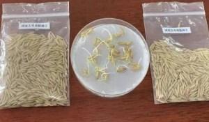 Des grains de riz transportés autour de la lune par Chang'e 5 ont germé