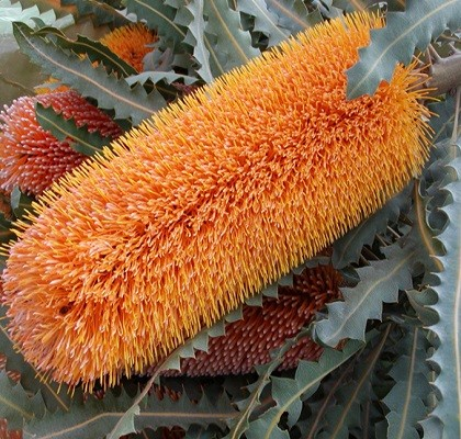 Flora Banksia California Resendiz Brothers