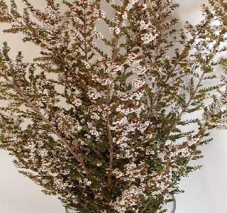 Filler Flowers Calycina Thryptomene
