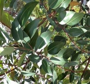 Eucalyptus Big Star Year Round Resendiz Brothers
