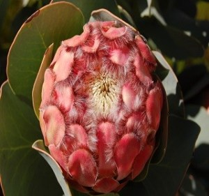 Protea Grandicep Pink Lady Resendiz Brothers