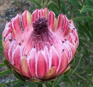 Protea Longifolia Resendiz Brothers California Flora