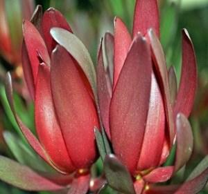 Leucadendron Safari Sunset Resendiz Brothers Flora