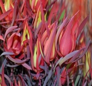 Leucadendron Salignum Red Blush Resendiz Brothers Flora