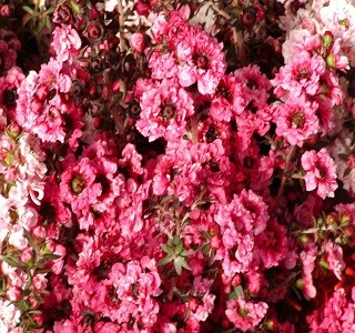 Filler Flowers leptspermum_variegated_pink
