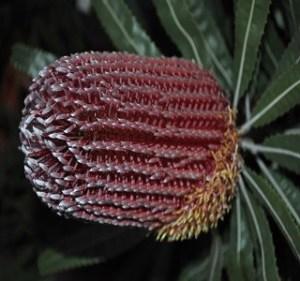 Banksia Mienziesii Resendiz Brothers Flora