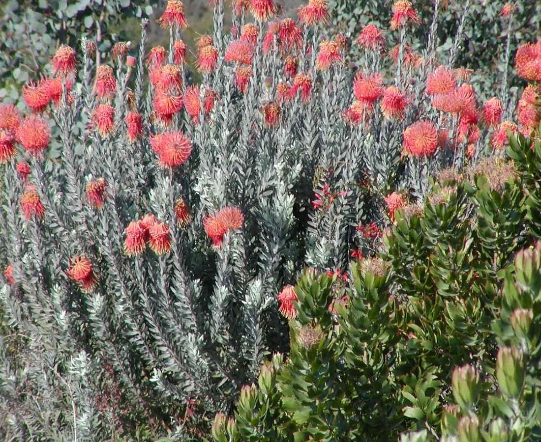 Plant Pinchusion Reflexum Resendiz Brothers California