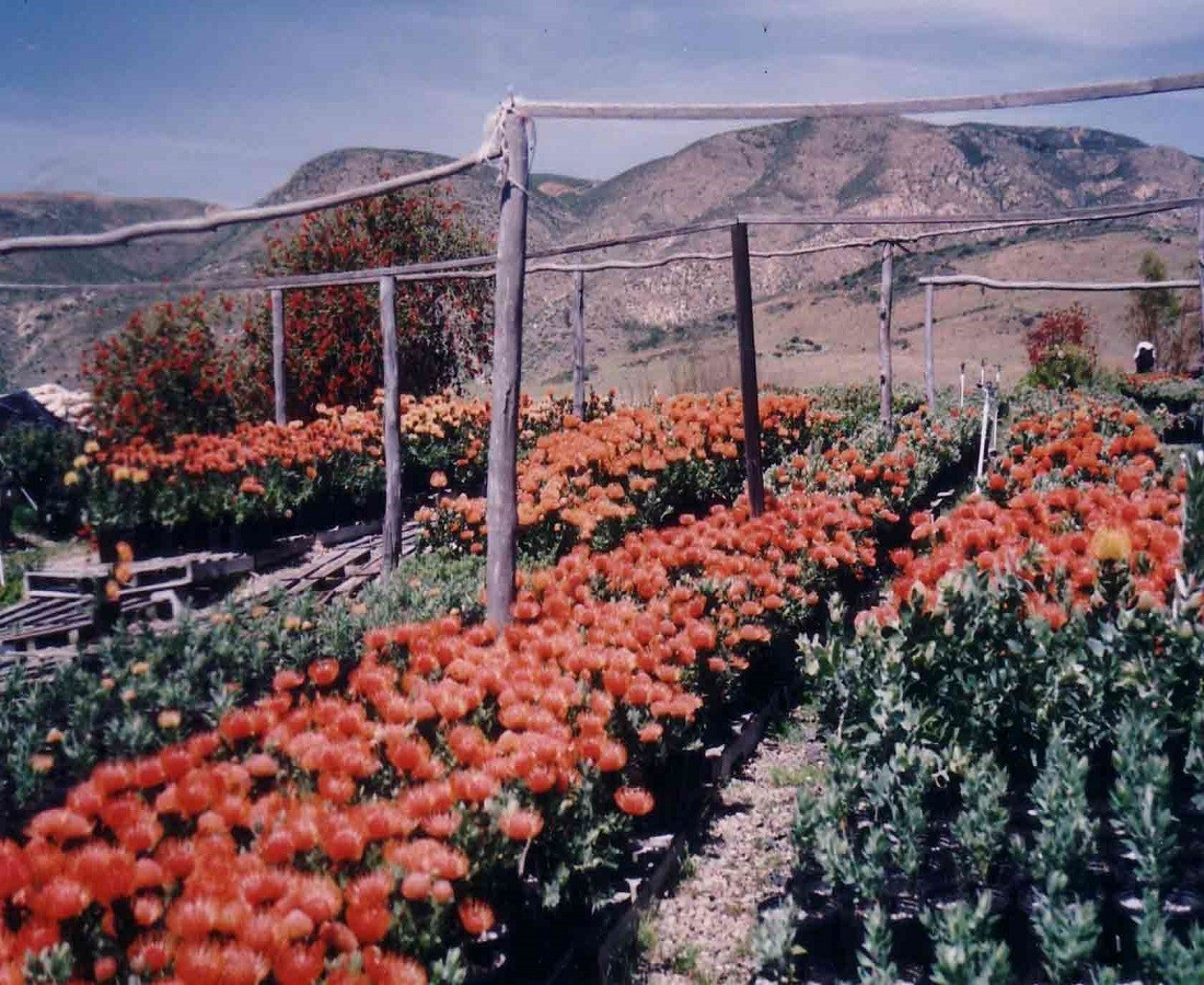 Plants Pincushions in Bloom Resendiz Brothers California