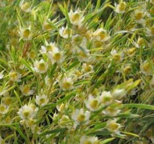Leucadendron Strictum