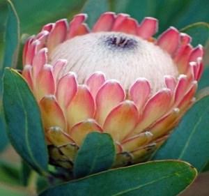 Protea Susara Resendiz Brothers California Flora